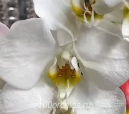 Орхидея фаленопсис London