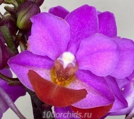 Орхидея фаленопсис Льюис