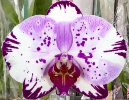 Орхидея фаленопсис Magik Art
