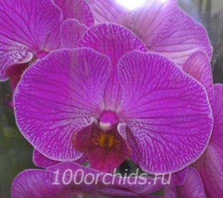 Maliall орхидея фаленопсис