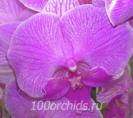 Manta Kal big lip орхидея фаленопсис