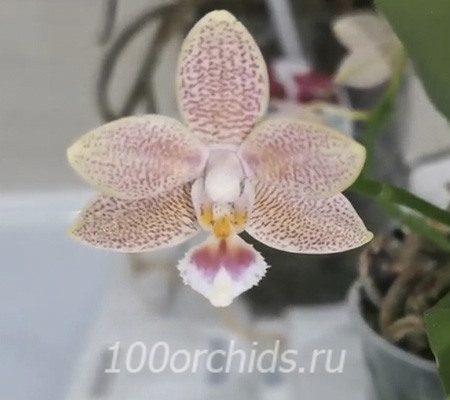 Masterpiece орхидея фаленопсис мини