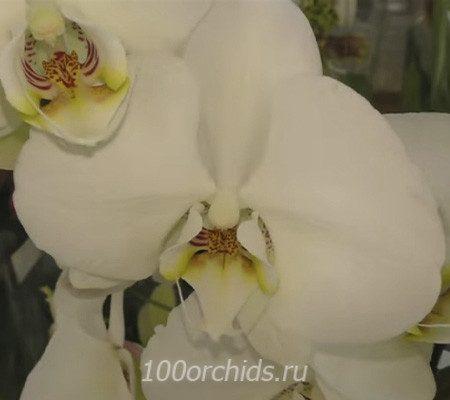 Mathilde орхидея фаленопсис