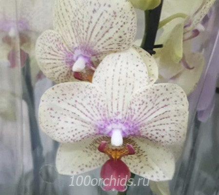 Maya орхидея фаленопсис