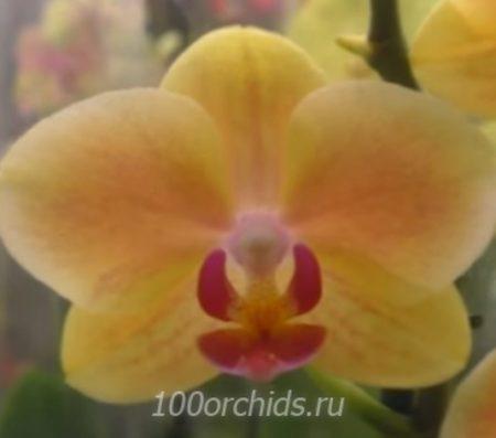Орхидея фаленопсис Menkar