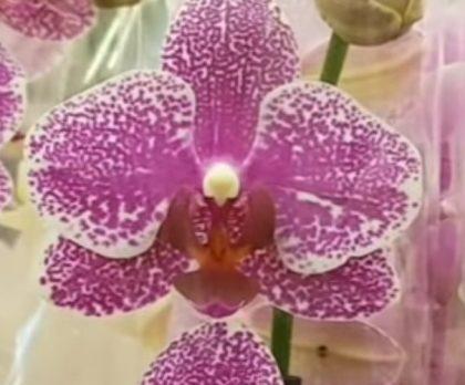 Орхидея фаленопсис Midnight morning