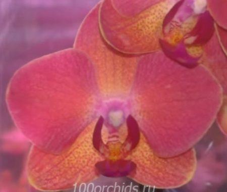 Орхидея фаленопсис Mirach