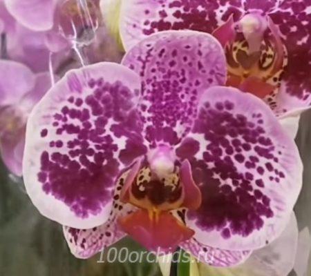 Miriam орхидея фаленопсис