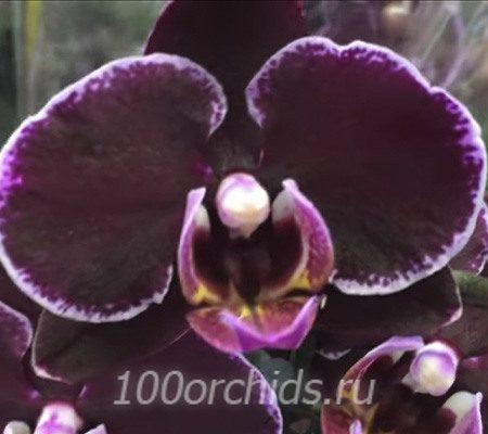 Montpellier орхидея фаленопсис