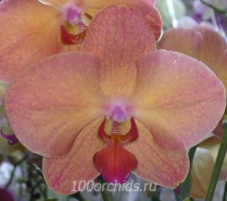 Орхидея фаленопсис Monza