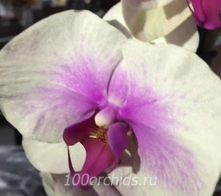 Орхидея фаленопсис Mountion