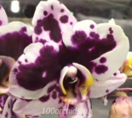 Орхидея фаленопсис Murcia