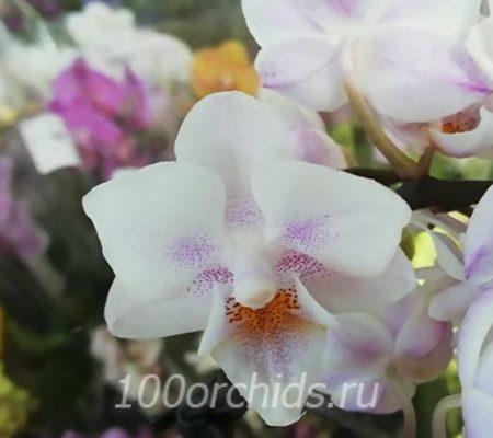 Neele орхидея фаленопсис