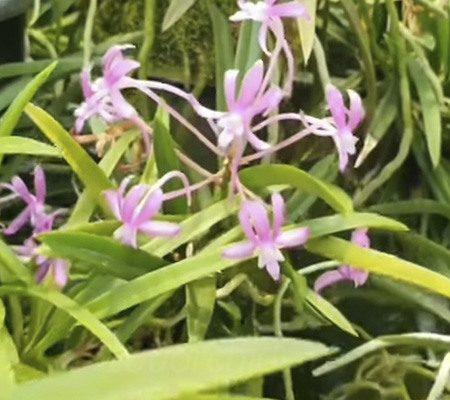 Неофинетия11 орхидея