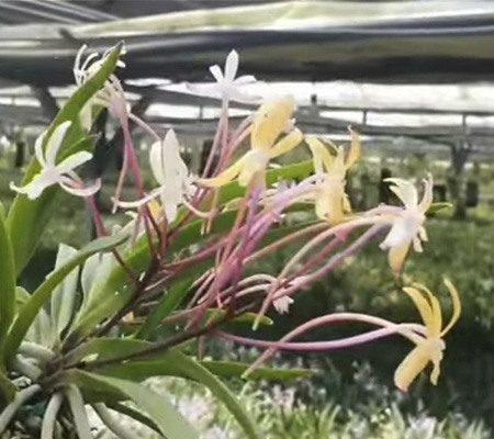 Неофинетия15 орхидея