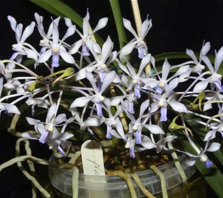 Неофинетия21 орхидея