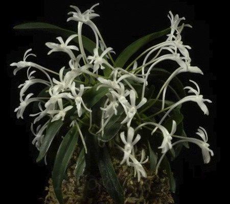 Неофинетия26 орхидея