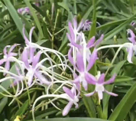 Неофинетия5 орхидея