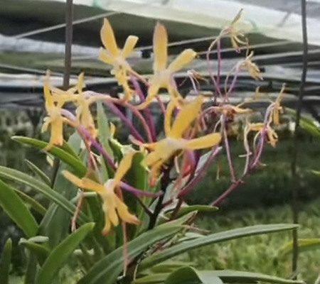 Неофинетия6 орхидея
