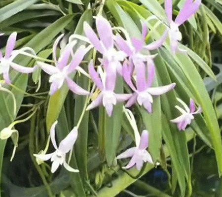 Неофинетия7 орхидея