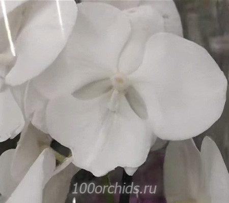 Nordic Lady орхидея фаленопсис