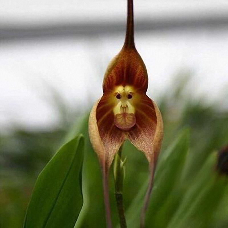 Обезьяна орхидея