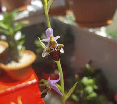 Офрис орхидея