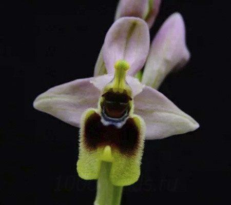 Офрис орхидея1