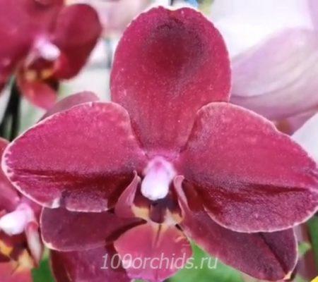 Орхидея фаленопсис Ola