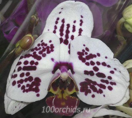 Olimpia орхидея фаленопсис