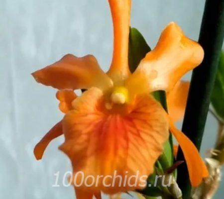 C.Orange Stardust Masumi