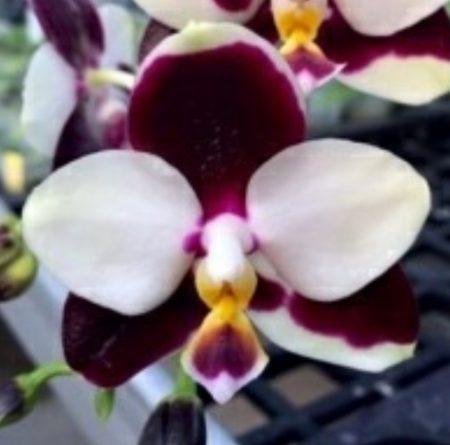 Орхидея фаленопсис Fangtastic Green Envy