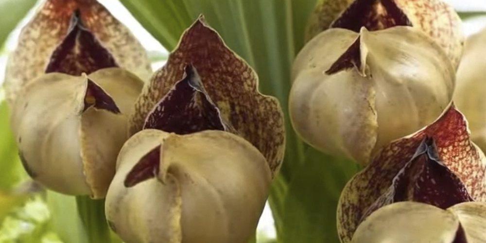Орхидея Ангулоа 8