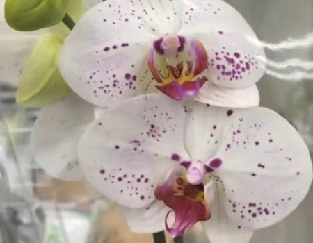Орхидея Лицо Ангела