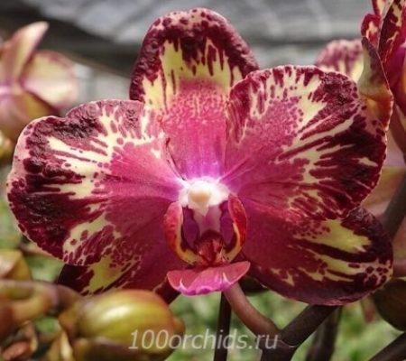 Орхидея фаленопсис I-Hsin big bang firework