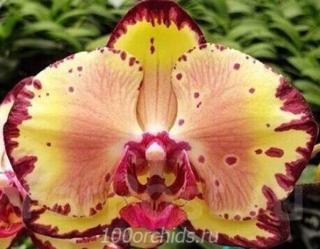 Орхидея фаленопсис Miki Crown