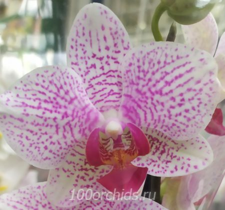 Орхидея фаленопсис Beautiful Smile
