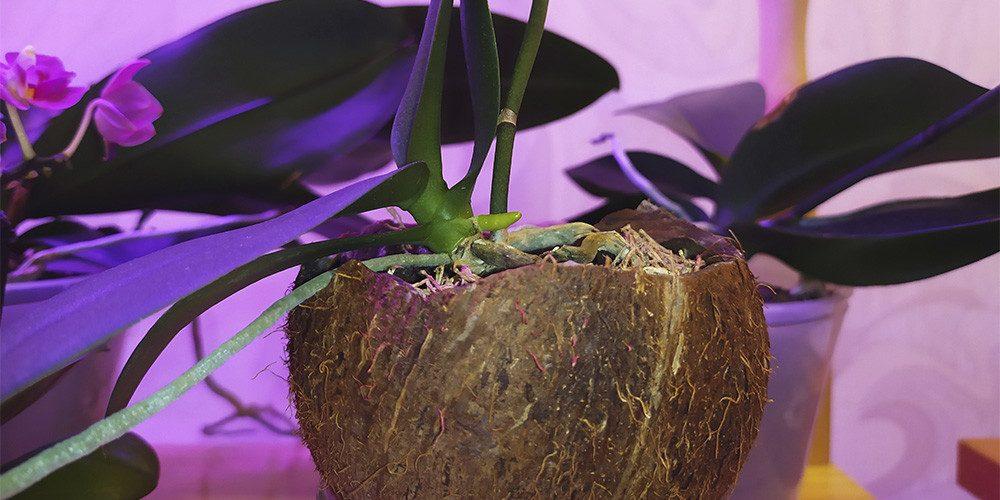 Орхидея в кокосе