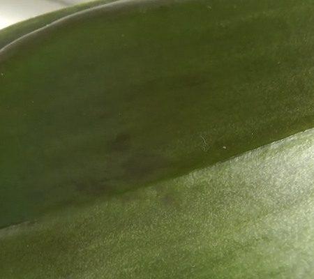 Отек на листьях орхидеи14