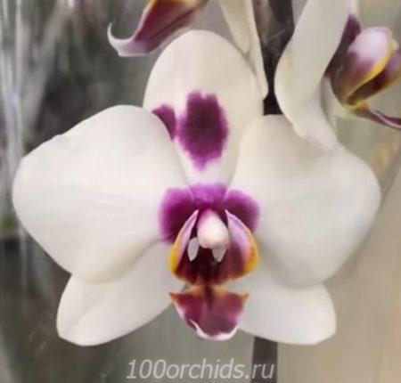 Орхидея фаленопсис Panda