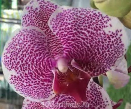 Pandora орхидея