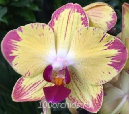 Папугай орхидея фаленопсис