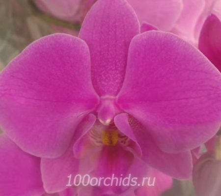 Орхидея фаленопсис Pasadena