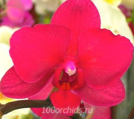 Орхидея фаленопсис Pavarotti