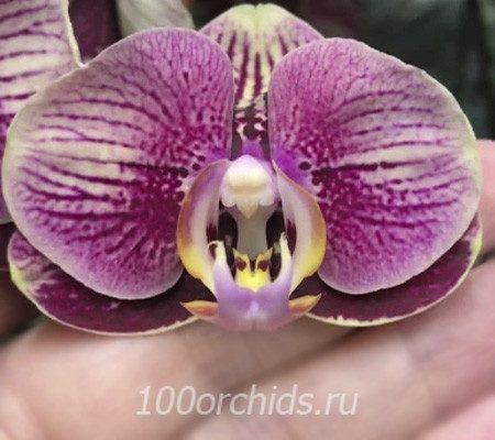 Phantom орхидея фаленопсис