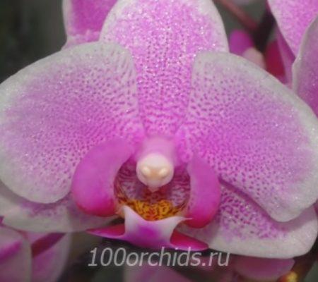 Pink Dream mini орхидея фаленопсис