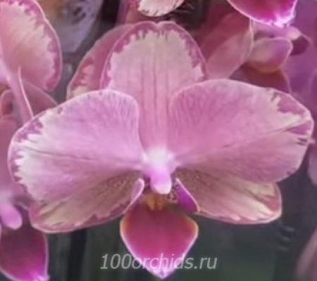 Орхидея фаленопсис Pirate Picotee