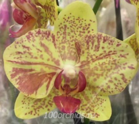 Орхидея фаленопсис Pulsation