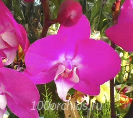 Purple With White Lip2 орхидея фаленопсис