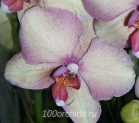 Орхидея фаленопсис Радуга